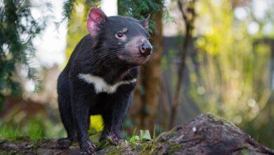 9 Faits éclairants sur les diables de Tasmanie