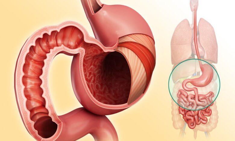 Absorption des nutriments dans le système digestif