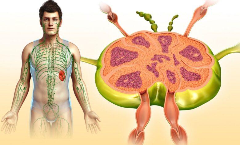 Photo de Anatomie et fonctions des ganglions lymphatiques