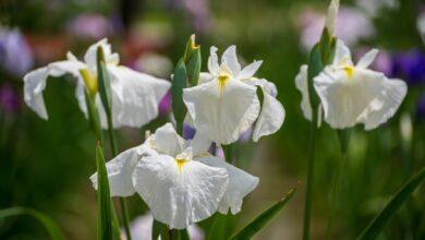 Comment cultiver et prendre soin des iris japonais