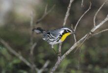 Comment suivre les oiseaux migrateurs près de chez vous