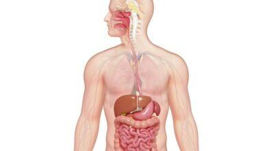 Photo de Explication du système digestif : Organes et digestion