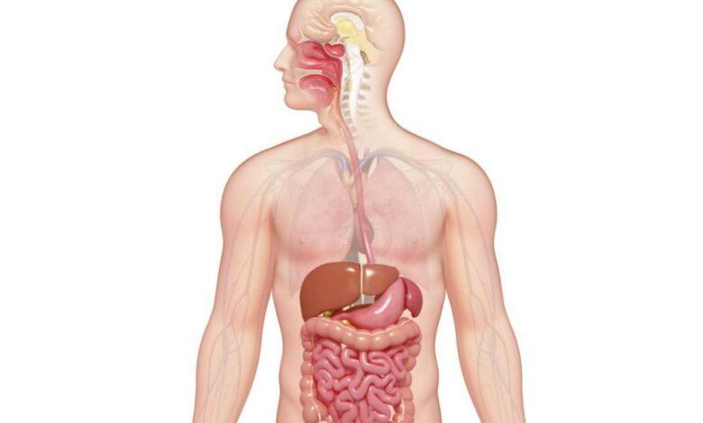 Explication du système digestif : Organes et digestion