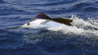 Le poisson le plus rapide de l'océan
