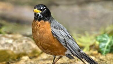 Les Robins américains émigrent 12 jours plus tôt qu'il y a 25 ans
