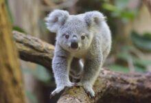 Les koalas sont-ils en danger ?