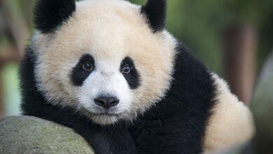 Les pandas géants sont-ils en danger ?