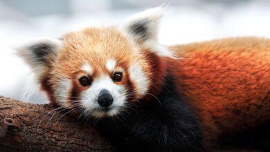 Les pandas rouges sont en fait deux espèces distinctes