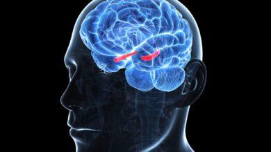 Photo de L'hippocampe dans le système limbique