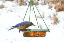 Nourrir les oiseaux bleus pourrait les aider de façon surprenante