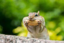 Pourquoi les écureuils passent-ils leur temps dans les arbres et les tamias préfèrent le sol ?