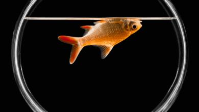 Pourquoi les poissons morts flottent à l'envers