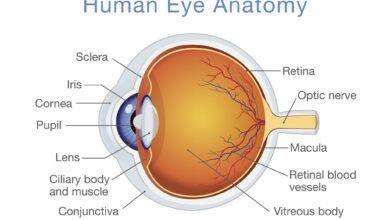 Structure et fonction de l'œil humain