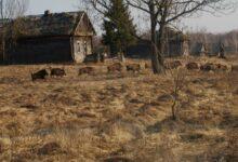 """Tchernobyl est devenu un """"sanctuaire de la faune accidentelle"""" qui prospère avec la vie"""