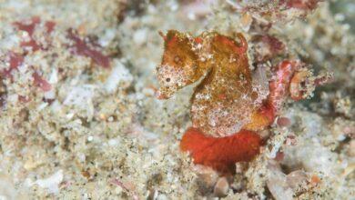 Un étrange et minuscule hippocampe a été découvert en Afrique du Sud